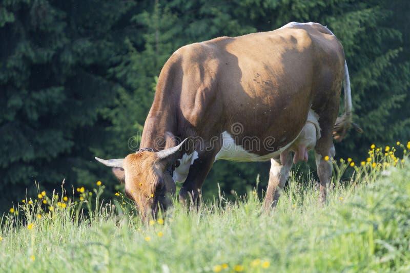 Kuh auf einer Sommerweide verbraucht Gras lizenzfreie stockbilder