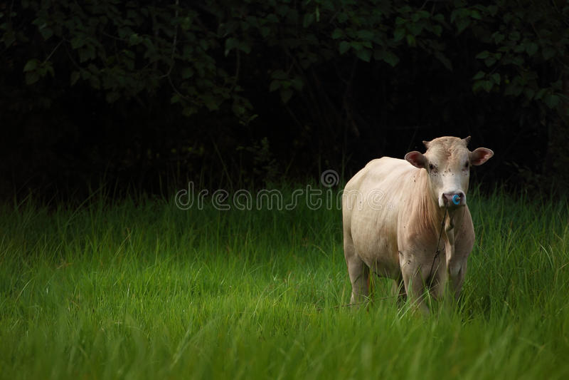 Kuh auf Feld des grünen Grases stockfotos