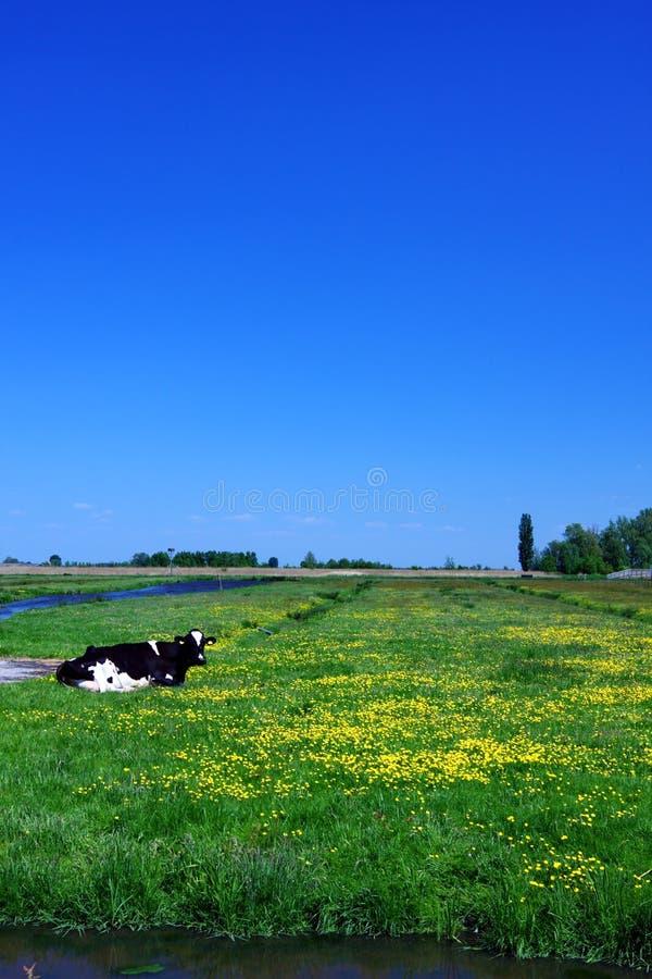 Kuh auf grünem Feld stockbild