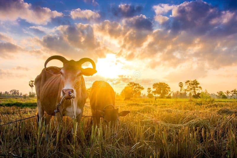 Kuh auf grünem Gras und Morgenhimmel mit Licht lizenzfreie stockfotos