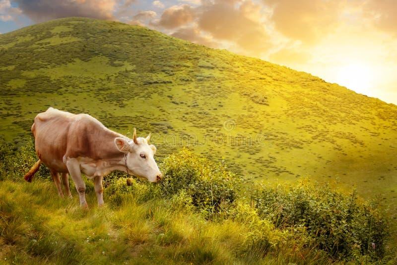 Kuh auf Hügel in den Bergen lizenzfreies stockfoto