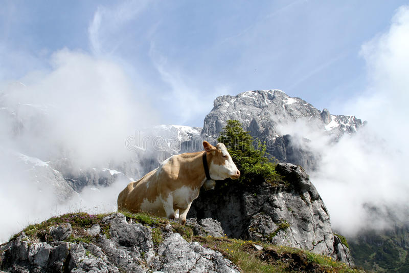 Kuh auf nebeligem Berg lizenzfreie stockfotografie