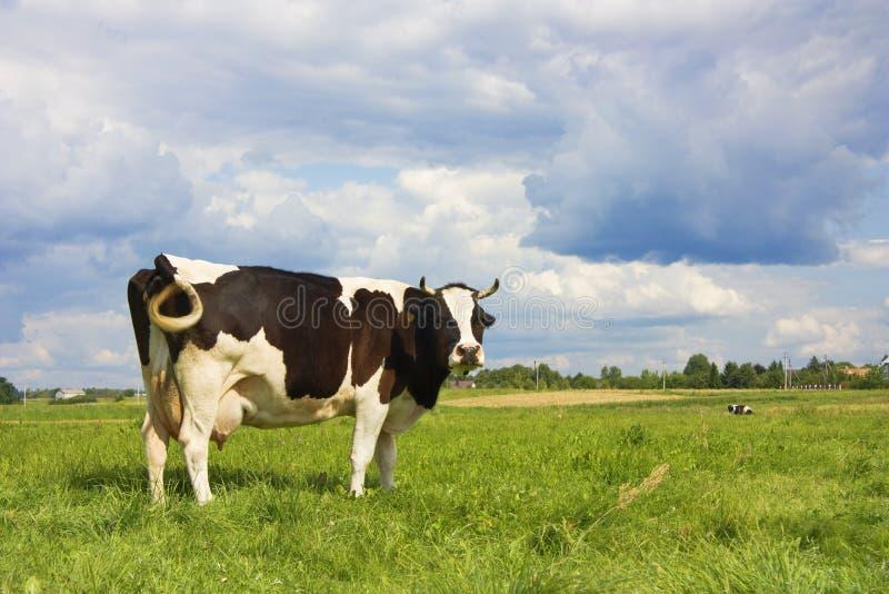 Kuh auf Wiese stockfoto