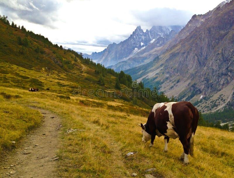 Kuh in den Bergen stockbild