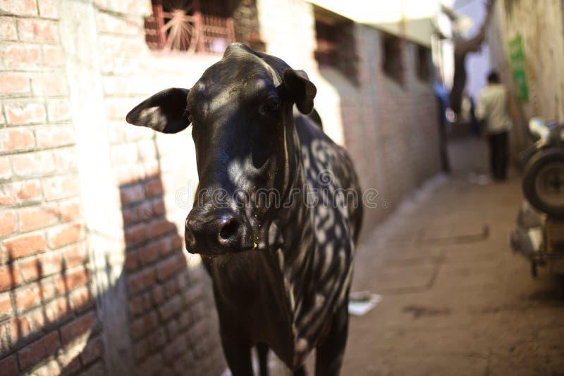 Kuh in der Gasse stockfotografie