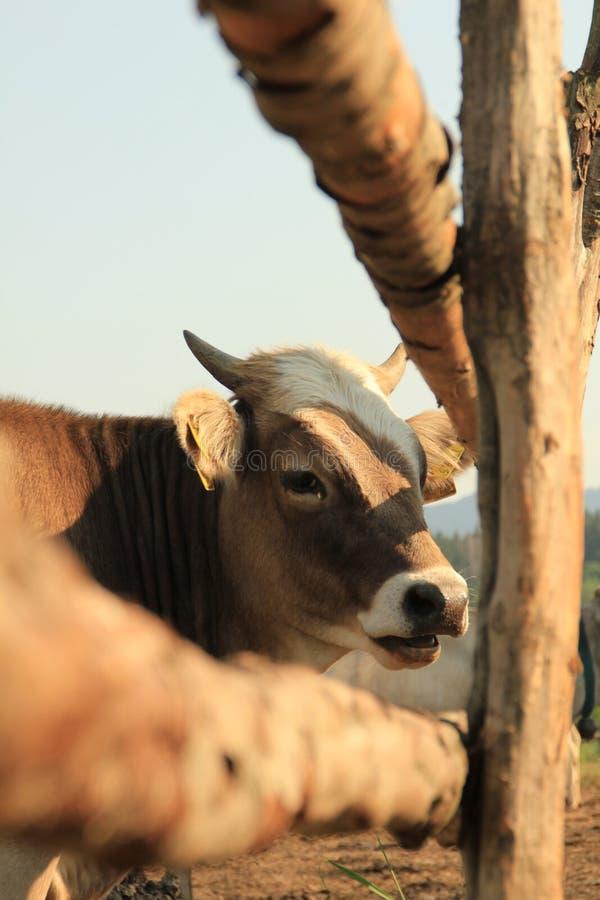 Kuh an der Landseite lizenzfreie stockbilder