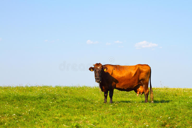 Kuh in der Wiese stockfotografie