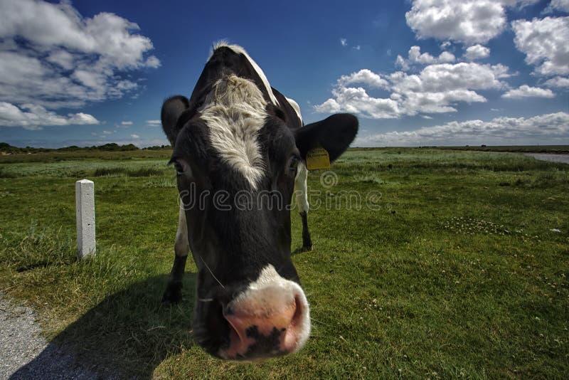 Kuh, die auf einem Gebiet steht lizenzfreies stockfoto