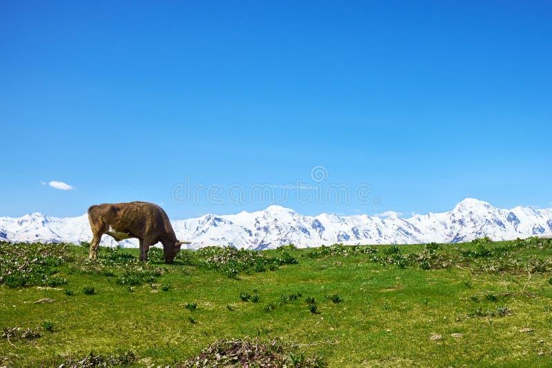 Kuh, die auf einer grünen Wiese gegen die weißen Berge weiden lässt stockbild