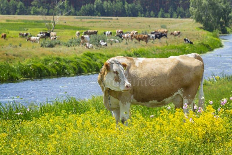 Kuh, die an der Weide weiden lässt stockfotos