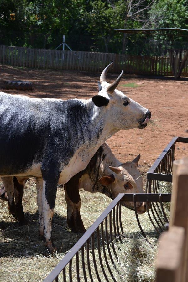 KUH 2 DSC_0105 NGUNI lizenzfreie stockfotos