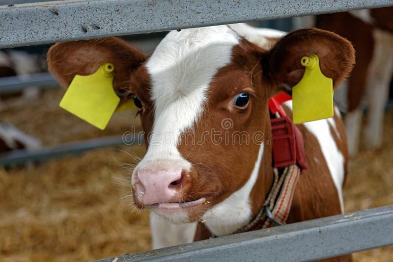 Kuh in einem Bauernhof Landwirtschaftsindustrie stockfotografie