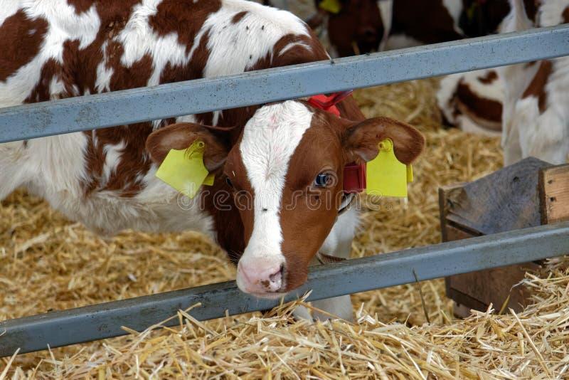 Kuh in einem Bauernhof Landwirtschaftsindustrie stockbild