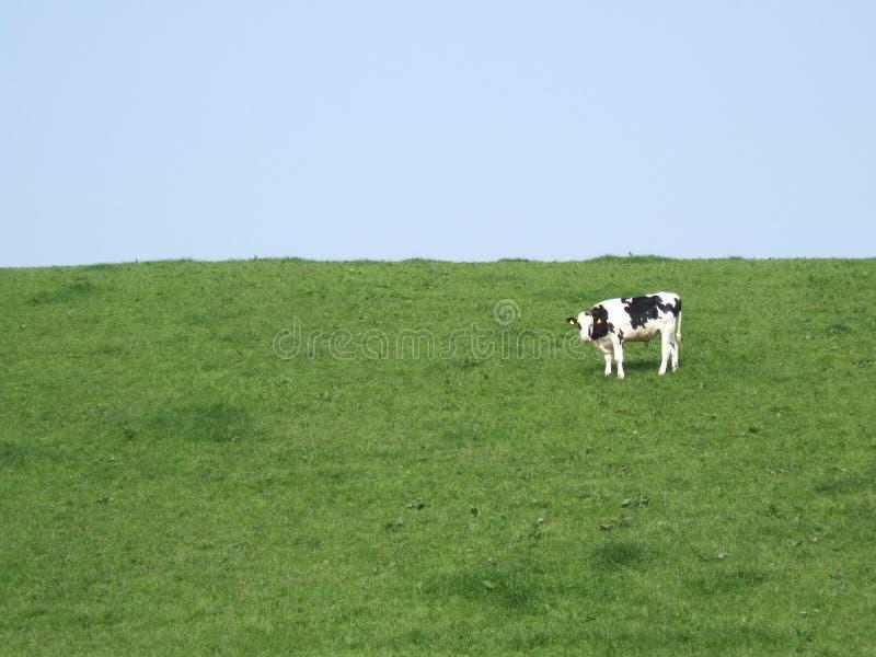 Kuh in einer Wiese lizenzfreie stockbilder