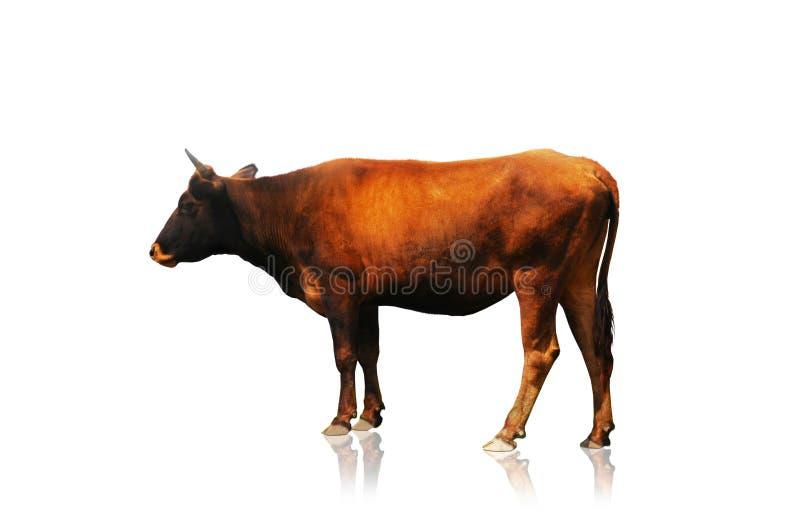 Kuh getrennt auf dem Weiß lizenzfreie stockfotografie