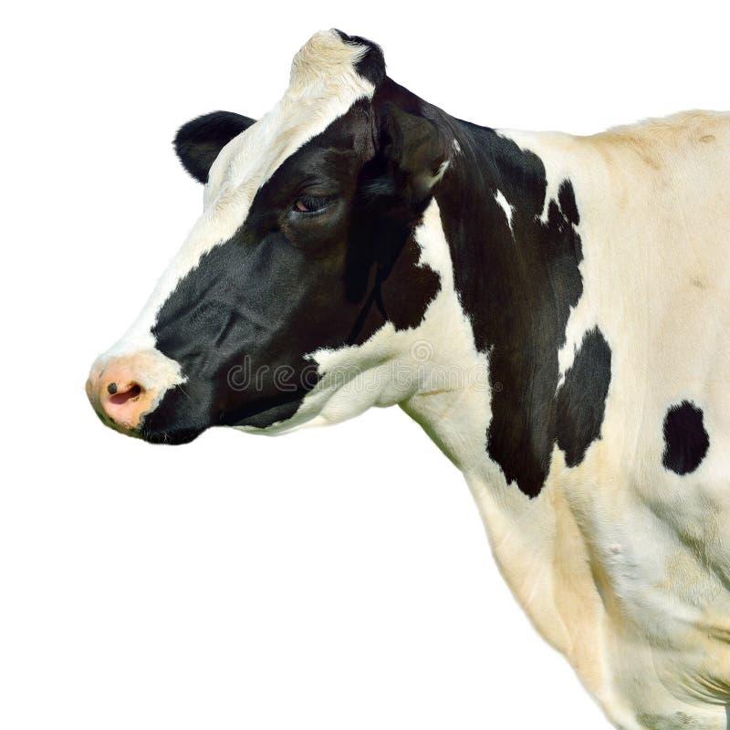 Kuh getrennt auf Weiß stockfoto