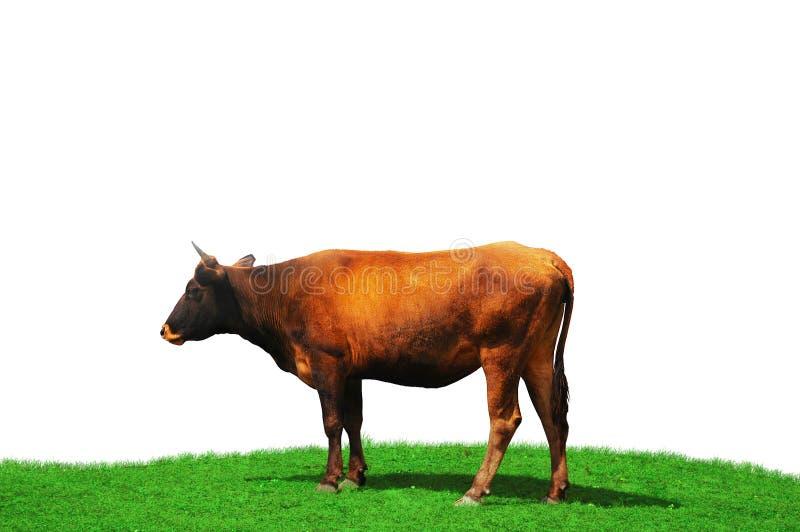 Kuh getrennt am Feld lizenzfreie stockfotografie