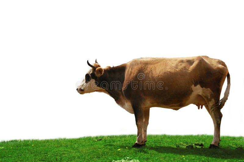 Kuh getrennt am Feld lizenzfreies stockbild