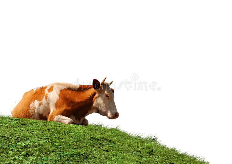 Kuh getrennt am Feld lizenzfreies stockfoto