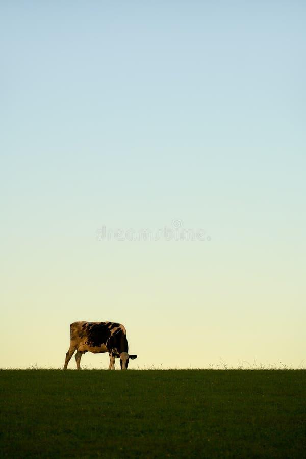Kuh Himmel Wiese. Kuh auf einer Weide grasend vor Himmel im Abendlicht royalty free stock photo
