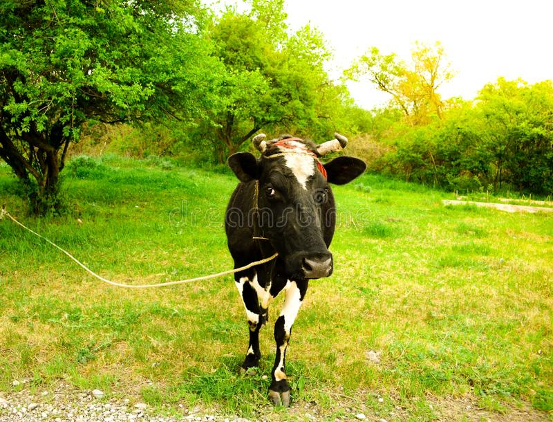 Kuh im grünen Gras der Feldbauernhofnatur hell lizenzfreies stockfoto