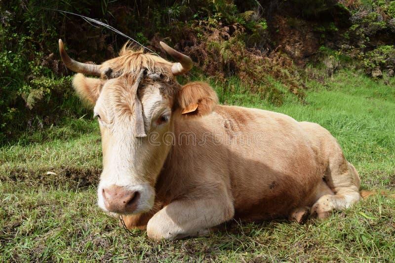 Kuh im grünen Wald stockbilder