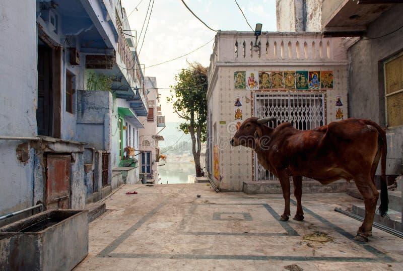 Kuh im Yard Pushkar, Indien lizenzfreie stockfotografie