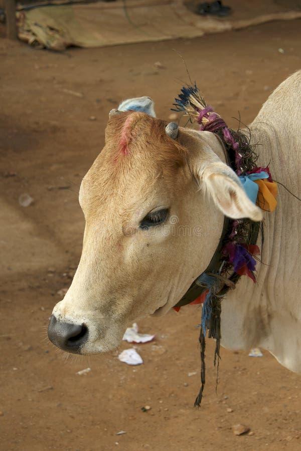 Kuh in Indien, wenn die bunten Dekorationen um Schlaghals gebunden sind stockfotos