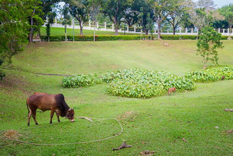 Kuh in Kuala Kangsar Malaysia stockfotos