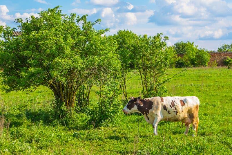 Kuh lässt auf einer grünen Wiese im Sommer im sonnigen weather_ weiden stockfoto