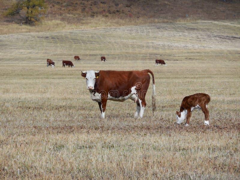Kuh lässt in einer Weide Altai weiden lizenzfreies stockbild