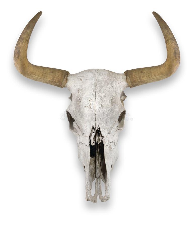 Kuh-Schädel stockbild. Bild von skelett, schädel, knochen - 16785411