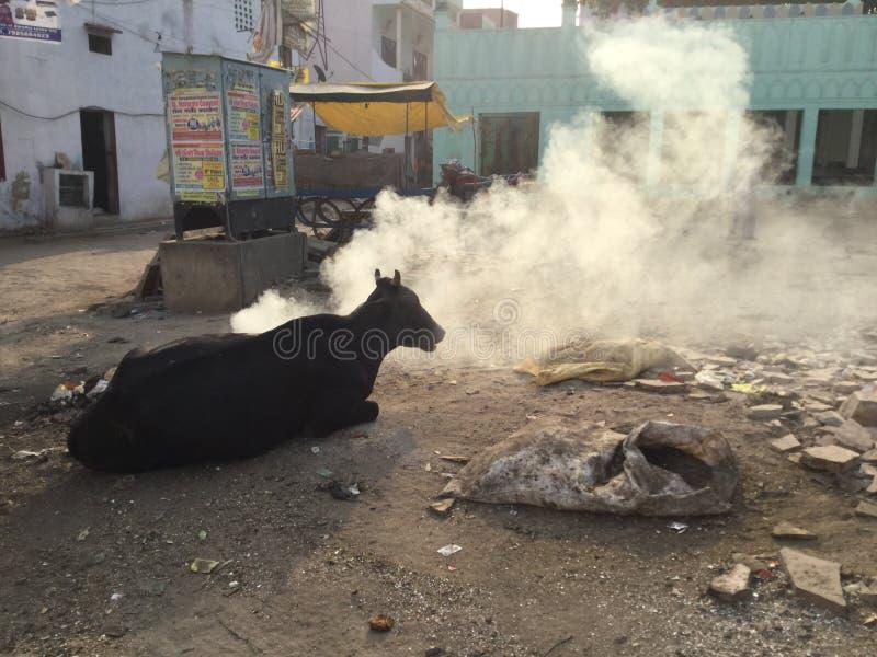 Kuh sitzt durch brennenden Abfall, Indien lizenzfreies stockfoto