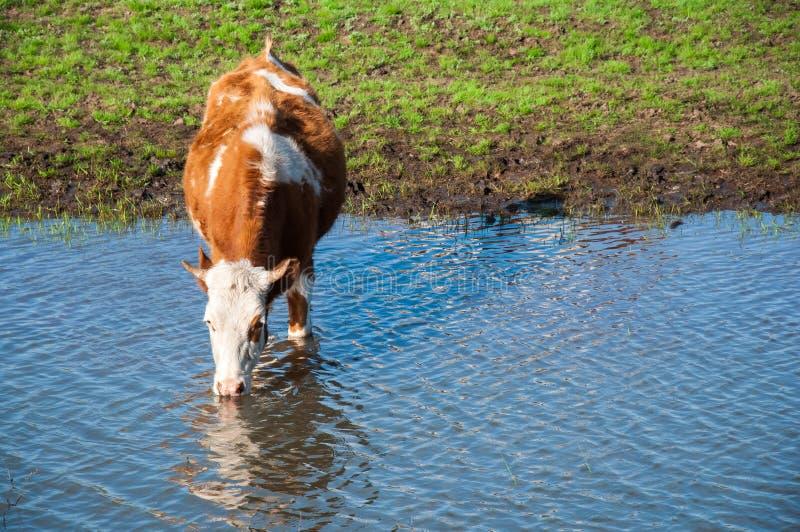 Kuh trinkt Wasser an der Wasserentnahmestelle stockfoto