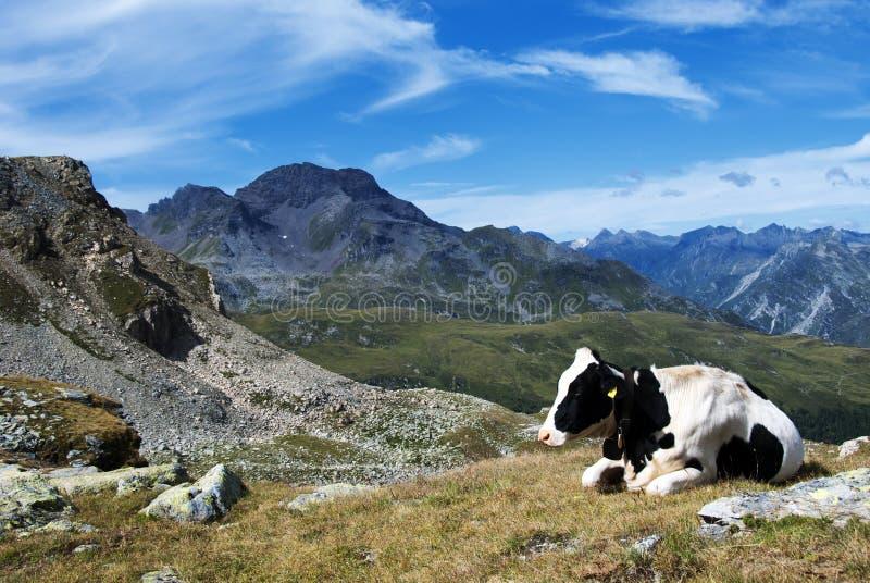 Kuh und Berge lizenzfreie stockbilder