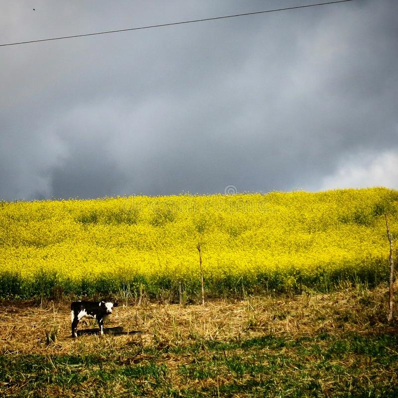 Kuh und Blumen stockbilder
