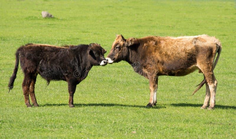 Kuh und junger Ochse stockbilder
