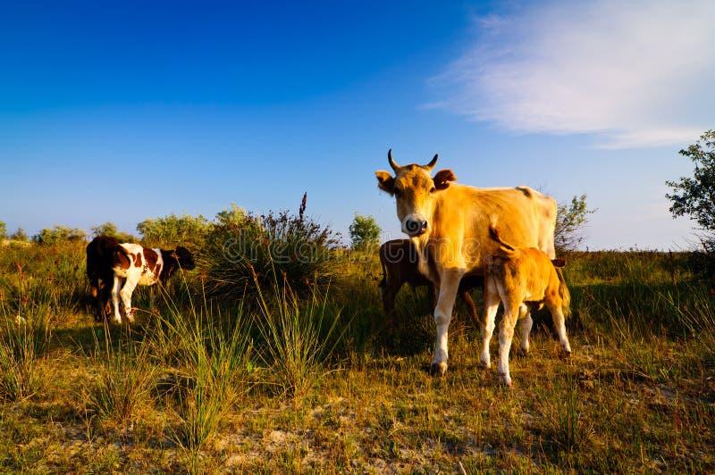 Kuh und Kälber lizenzfreies stockbild