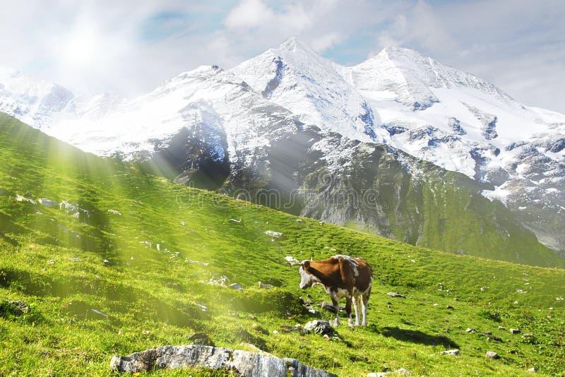 Kuh und Sonne stockfoto