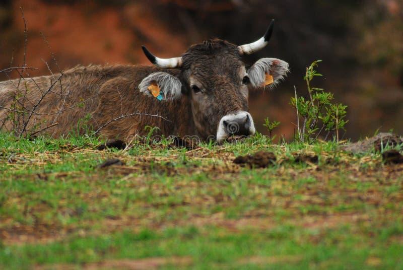 Kuh versteckt hinter einer Niederlassung lizenzfreies stockfoto