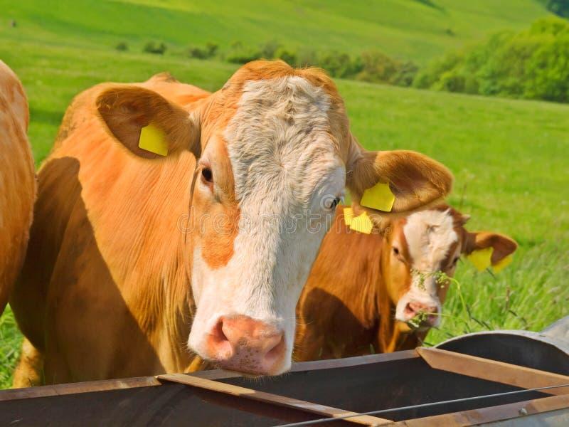 Kuh zwei auf dem grünen Gebiet stockfoto