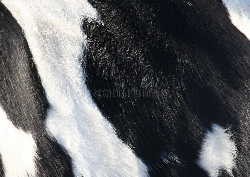 Kuhhaut lizenzfreies stockbild