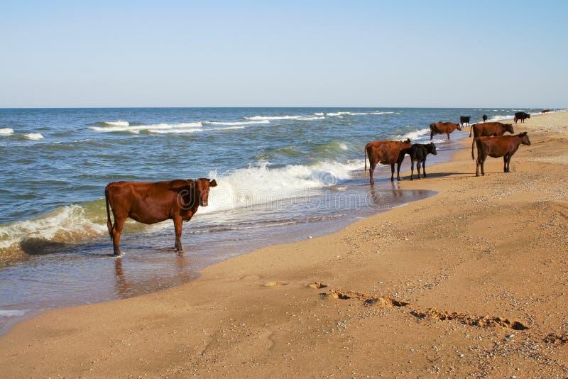 Kühe auf dem Strand stockfoto