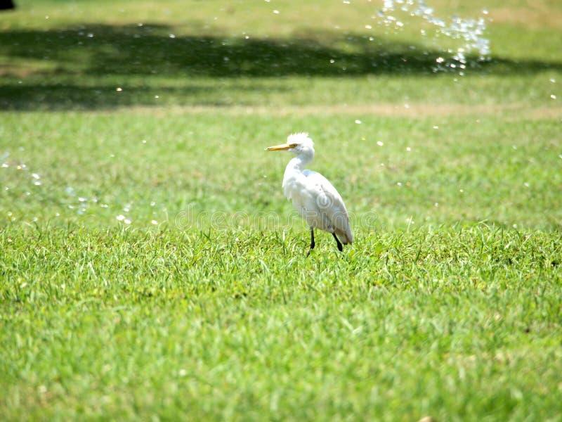 Kuhreiher, der auf einen manikürten Rasen geht lizenzfreies stockfoto
