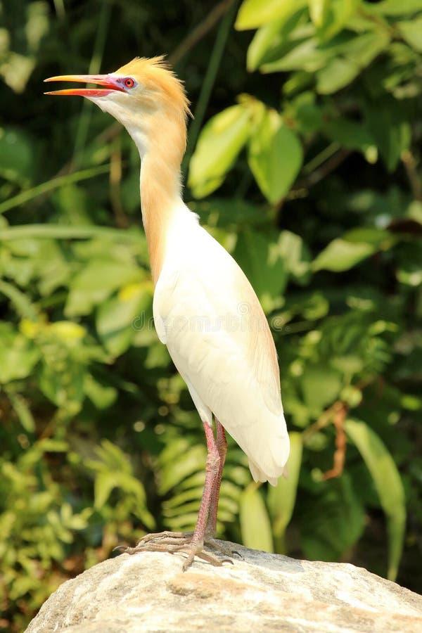 Kuhreiher im Gefieder, Bubulcus IBIS, Ranganathittu-Vogelschutzgebiet, Karnataka, Indien lizenzfreies stockbild