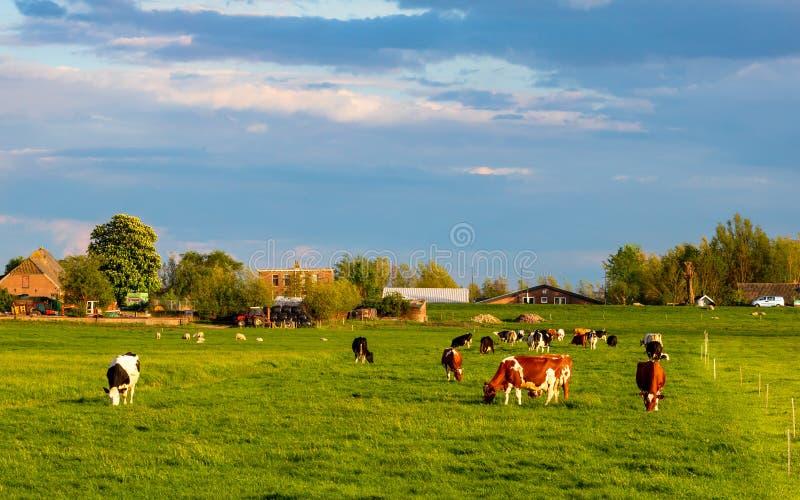 Kuhvieh in einem a eine niederländische Ranch weiden lassend auf üppigem grünem Gras lizenzfreies stockfoto
