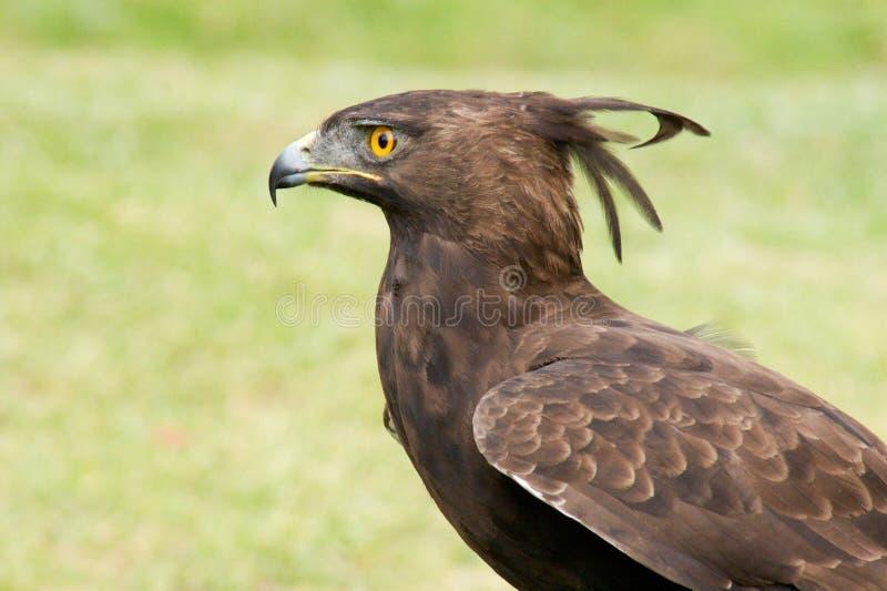 Kuif adelaar stock afbeelding