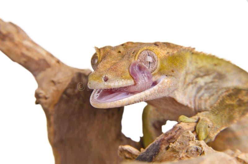Kuif gekko (2) stock afbeelding