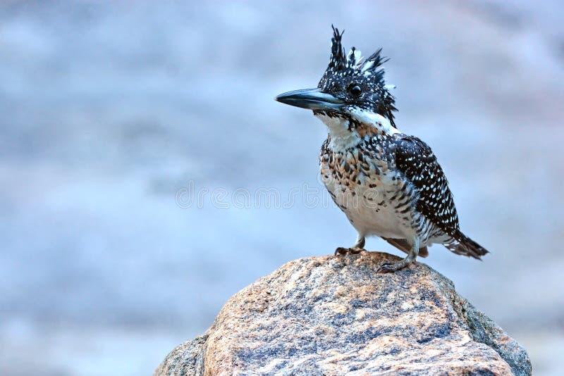 Kuif Ijsvogel royalty-vrije stock foto
