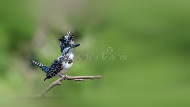Kuif Ijsvogel royalty-vrije stock foto's